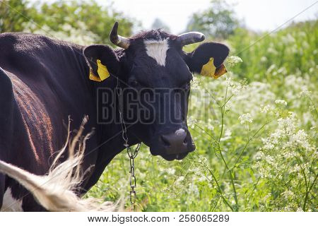 An Incredibly Beautiful Cow Grazing On A Summer Green Meadow. Feeding And Breeding Of Cattle. Farm A