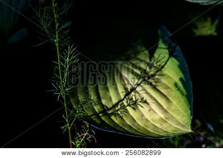 Shadowed Green Broad Leaf With A Shadow Cast On It's Lit Center