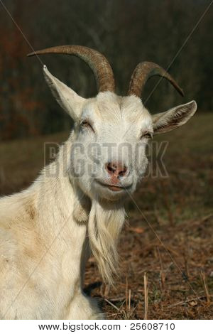 a male goat looking proud and inquisitive