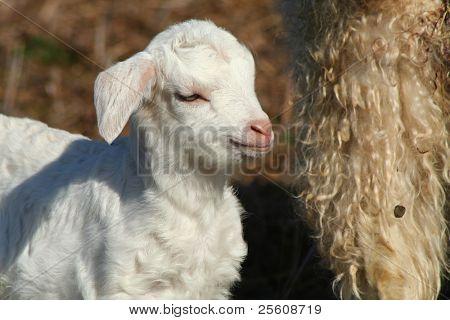 close up of little lamb