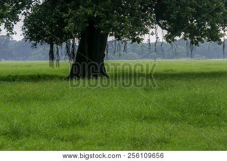 Old Oak Tree On Meadows. A Field On Which Grows One Beautiful Tall Oak Tree, A Summer Landscape In S