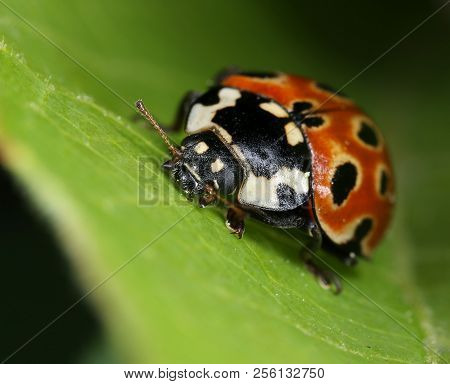 Eyed Ladybird Anatis Ocellata On Green Leaf Macro Close-up