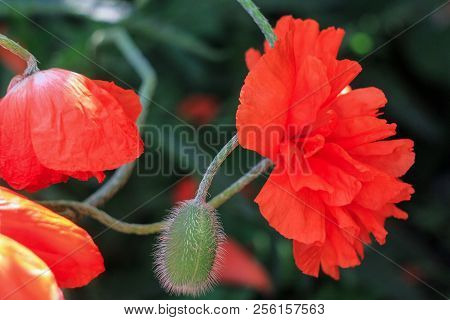 A Large Red Poppy Flower On A Dark Green Background Blooms Under The Open Sky, Two Large Poppy Flowe