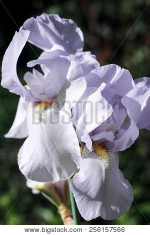 Two Large Flowers Of White Iris On A Green Blurry Background Blooms In The Garden,  Inflorescence O