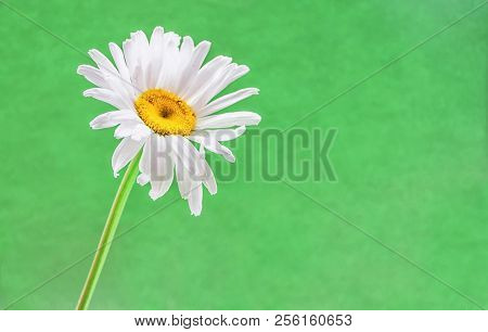 Beautiful Flower Daisy On Green Background. Spring.