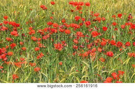 Beautiful Field Of Red Poppies In Spring.