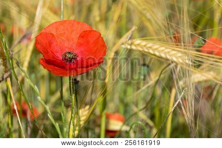 Red Poppy On Green Grass In Spring. Backgrounds.