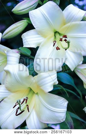 A Beautiful Inflorescence Of Large White Lilies On A Green Background In The Open Air, Large Flowers