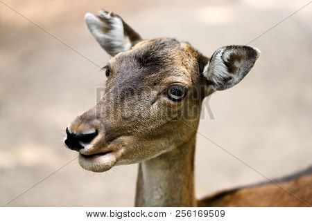 Close-up Portrait Of Fallow Deer (dama, Dama) In The Forest. Photography Of Nature And Wildlife.