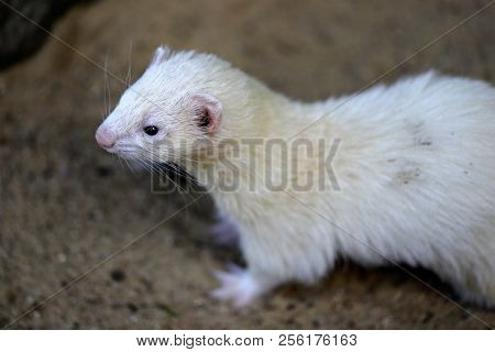 Portrait Of Domestic Beige Male Ferret. Photography Of Nature And Wildlife.