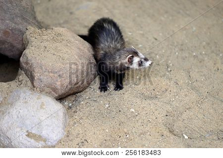 Full Body Of Domestic Multicolor White-grey-brown Female Ferret. Photography Of Nature And Wildlife.