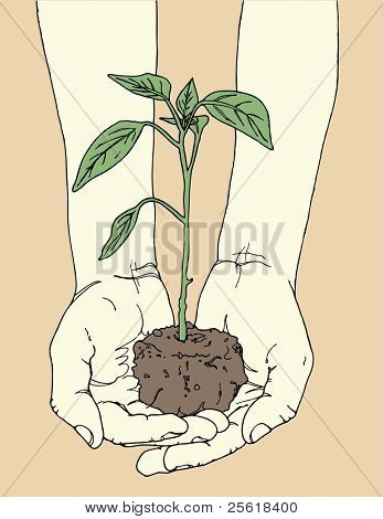 Hands holding tomato plant