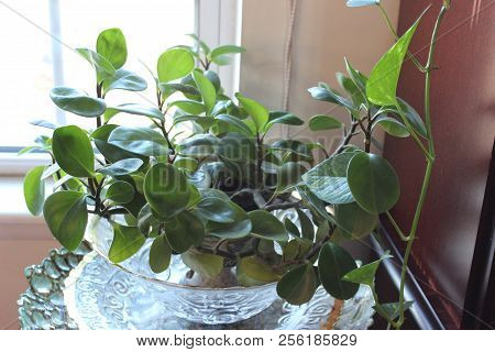 Peperomia, Also Called Baby Rubber Plant, Is An Indoor House Plant Used In Homes To Add Color And He