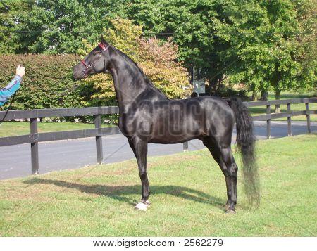 Black American Saddlebred Stallion