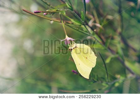 Nature Background Butterfly. Butterfly Insect In Nature. Nature Insect Butterfly On Pink Flower Plan