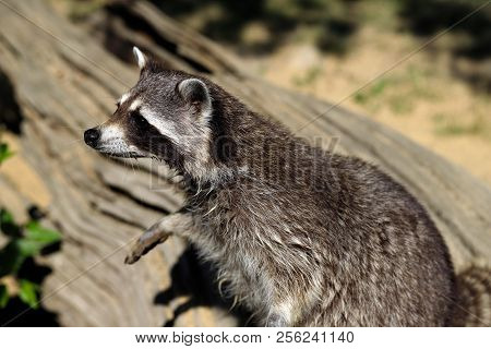 Portrait Of Of Lotor Common Raccoon (procyon Lotor). Photography Of Nature And Wildlife.