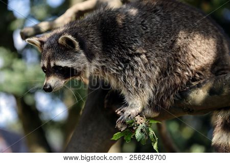 Portrait Of Of Lotor Common Raccoon (procyon Lotor) On The Tree Branch. Photography Of Nature And Wi