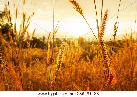 Desho Grass Pennisetum Pedicellatum At Sunset Time. Beautiful Grass Flower. Background Grass Flower