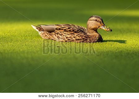 Duck Swims In A Pond Covered With Duckweed. Duck In Overgrown Pond.