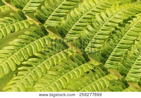 Detail And Texture Of A Fern Leaf. Backgrounds.