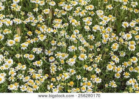 Beautiful Daisies For Backgrounds. Splendor Of Spring.