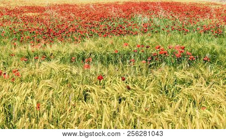 Field Of Grass And Red Poppies In Spring