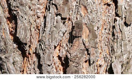 Conifer Bark Closeup On A Sunny Day