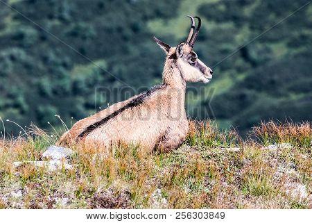 Rupicapra Rupicapra Tatriica (tatra Chamois) Near Gaboovo Sedlo In Western Tatras Mountains On Slova