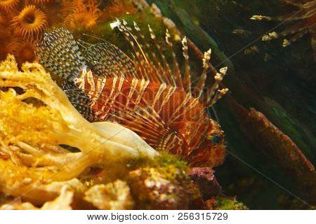 Spotfin Lion (pterois Antennata), Also Known As The Broadbarred Firefish In Their Habitat