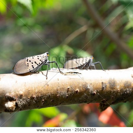 Close-up Of Spotted Lanternfly, As It Sits On Branch In Wooded Area, Berks County, Pennsylvania