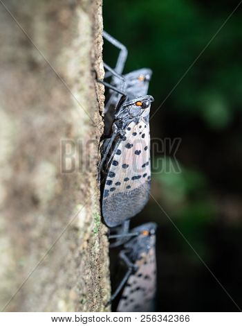 Close-up Of Spotted Lanternfly, As It Sits On A Tree Of Heaven In Wooded Area, Berks County, Pennsyl