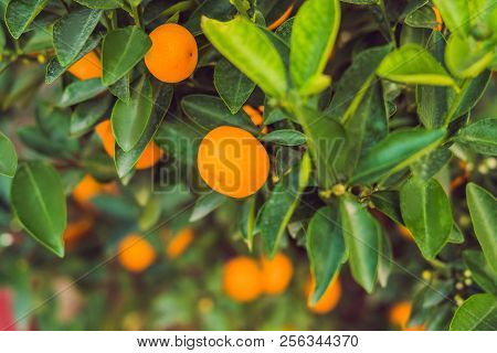 Close Up Vibrant Orange Citrus Fruits On A Kumquat Tree In Honor Of The Vietnamese New Year. Lunar N