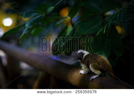The Cotton-top Tamarin, Saguinus Oedipus Sitting On The Branch