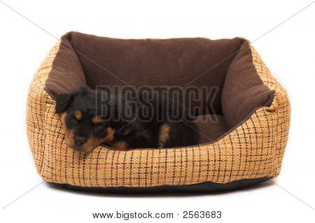 black rottweiler puppy resting on her bed poster