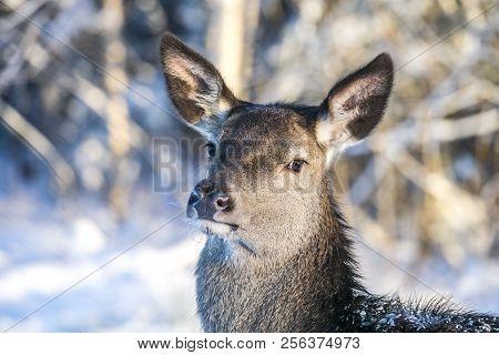 Adult Female Red Deer On A Snow Hill. European Wildlife Landscape With Deer Cervus Elaphus . Portrai