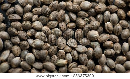 Marijuana Seeds Close-up. Healthy Cannabis Seeds For Millenial People