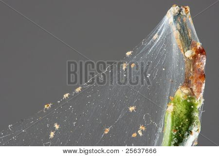 Spider Mite On The Branch Of A Lemon (tetranychinae)
