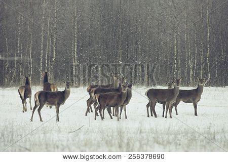 Adult Great Deer Cervus Elaphus , Dedicated Depth Of Focus, Surrounded By Herd. Noble Red Deer, Standing In Belorussian Forest. Portrait Of Deer Stag, Looking At You In Winter. Christmas time poster
