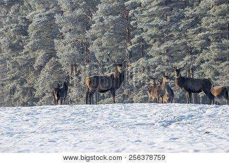 Portrait Of Deer Stag, While Looking At You In Winter Time. Adult Great Deer Cervus Elaphus , Dedica