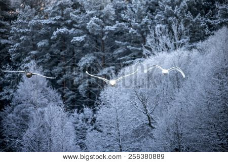 Flying Swan Over The Lake On Winter Forest Background. White Swan. Nature Background.