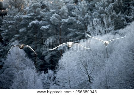 Forest Background. Flying Swan. White Swan. Nature Background.