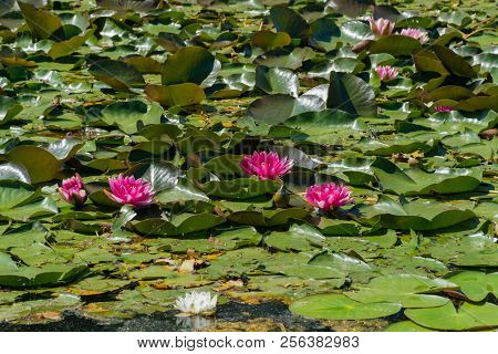 Pink Water Lilies Bloom In The Pond.