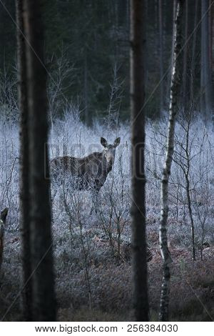Wild Canadian Bull Moose With Antlers On A Parkway Roadside In The Snow In Autumn In Sweden.