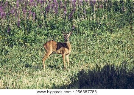 European Roe Deer Capreolus Capreolus In Wildlife On Floral Meadow