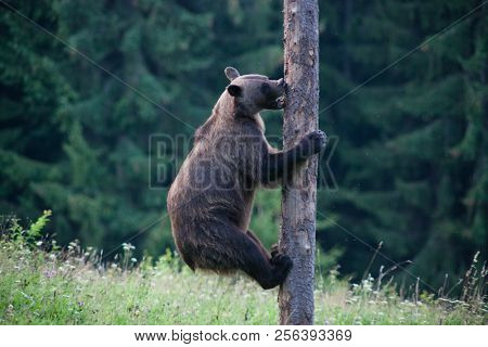 brown bear in its natural habitat climbing a tree