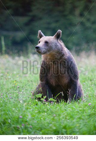 brown bear in its natural habitat