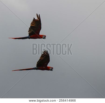 A Pair Of Macaws Flying On A Grey Day