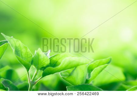 Close Up Beautiful Natural Green Leaves And Yellow Sunlight With Greenery Background In The Garden F