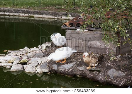 Ducks Near A Pool