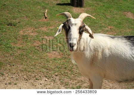 A Domesticated Billy Goat With Horns Looking Directly Me.